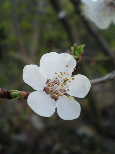 sping apricot blossom